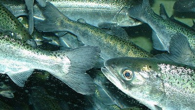 Your Weed Habit Is Killing Off California Salmon