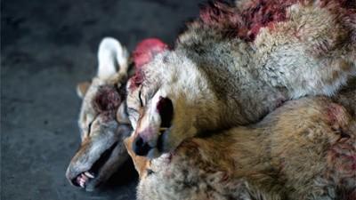 Cómo matar a un lobo
