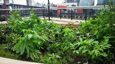 Unos activistas cultivan marihuana en espacios públicos por todo el Reino Unido