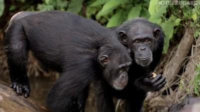 Los simios de laboratorio de Liberia