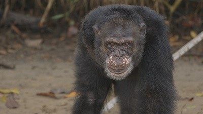 The Lab Apes of Liberia