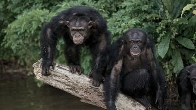 De lab-apen van Liberia