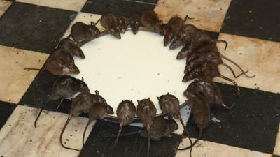 El futuro estará plagado de ratas