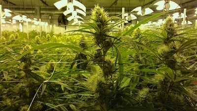 Canadian Cannabis - Trailer