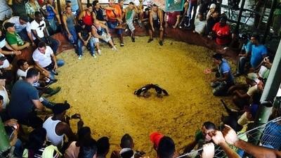 Cubaanse hanengevechten zijn smerig, bloederig en gewelddadig