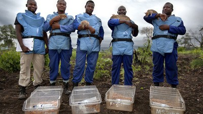 An Army of Giant African Pouched Rats Are Clearing Mozambique's Minefields