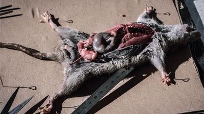 La peste noire est de retour à Madagascar