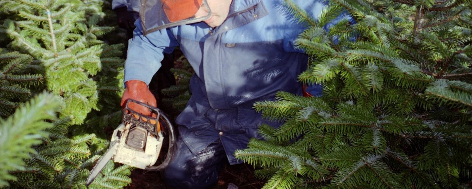 A vida das árvores de Natal