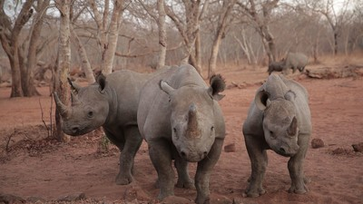 Watch Our HBO Report on the Illicit Rhino-Horn Trade