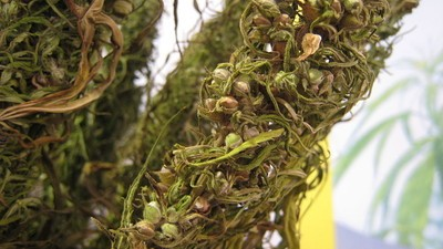 Hemp Is a Superfood but Not in Australia?
