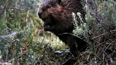 Los cazadores de castores en la Patagonia
