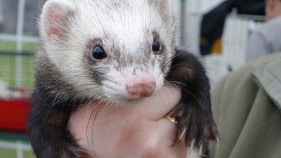 Three Pet Ferrets Ate a Month-Old Baby's Nose Outside Philadelphia