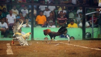'Sabong' Is the Philippines's Billion Dollar Cockfighting Industry
