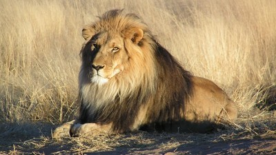 It's Surprisingly Legal to Eat Lion Meat