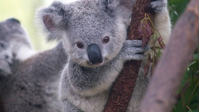 Hundreds of Koalas Were Killed for Their Own Good in Australia