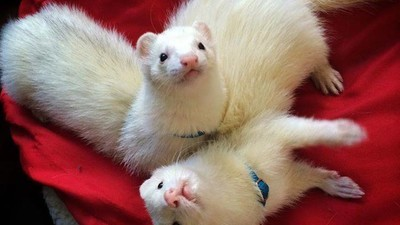 When Ferrets Are Outlawed, Only Outlaws Will Own Ferrets