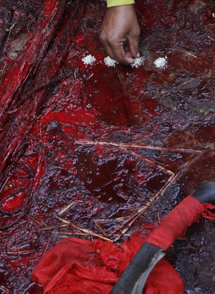 Fotos de sacrificios animales para el festival Gadhimai de Nepal