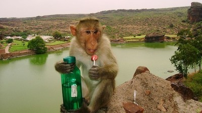 India Is Being Overtaken by Armies of Defiant Monkeys