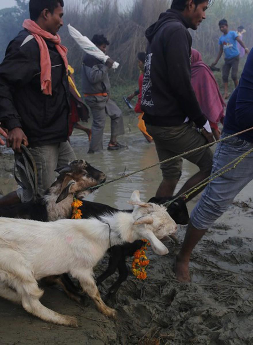 Dierenoffers bij het Gadhimai-festival in Nepal