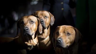 In België zijn mooie honden niet meer veilig