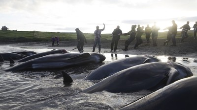 Inside the Grind: The Fight for Whale Hunting in the Faroe Islands