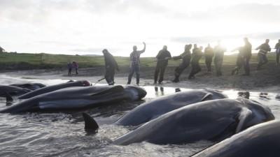 La lotta contro la caccia alle balene nelle isole Faroe