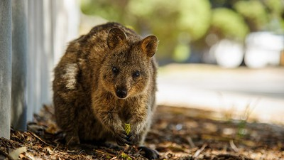 Australia Is Cracking Down on Assholes Who Hurt Quokkas, the Cutest Animals in the World