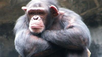 US-Richterin spricht Schimpansen aus Versehen Menschenrechte zu