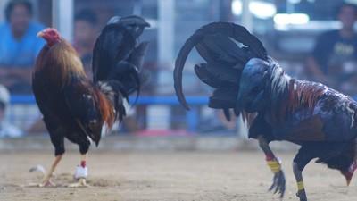 Combats de coqs aux Philippines