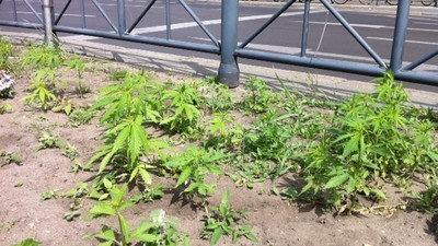 Jemand hat mitten in Berlin über Nacht 700 Cannabispflanzen gepflanzt