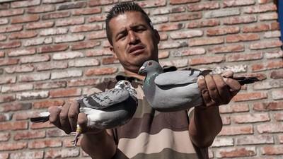 El auge de las palomas mensajeras en Jalisco
