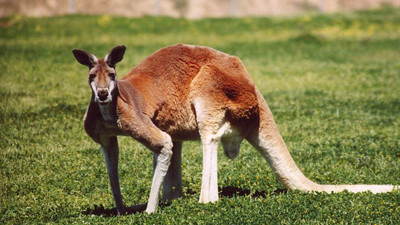 Australian Families Live in Fear of a Humongous Kangaroo Haunting Their Suburban Streets