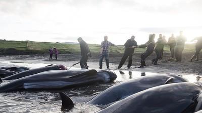 Chasse à la baleine aux îles Féroé