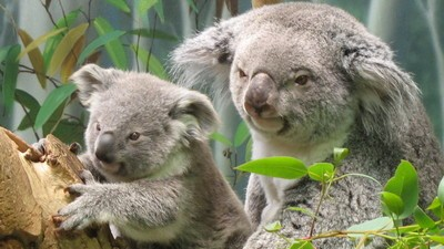 Talking to a Veterinarian Putting Victoria's Koalas on Birth Control