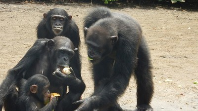 These Chimps Helped Us Find a Hepatitis Vaccine. Now They've Been Left to Die