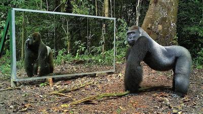 So reagieren wilde Tiere, wenn sie sich mitten im Dschungel im Spiegel sehen