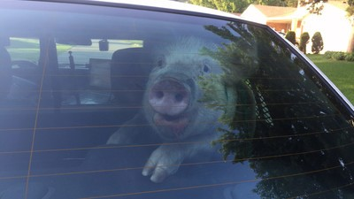 We Talked to the Michigan Cop Who Took That Amazing Viral Photo of a Pig in a Police Cruiser