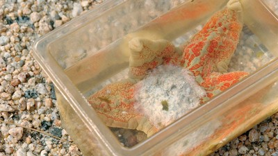 Die rätselhafte Seuche, die Seesterne dazu bringt, sich selbst in Stücke zu reißen