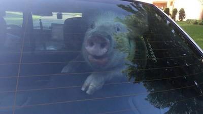 Hablamos con el poli de Michigan que fotografió a un cerdo en un coche patrulla