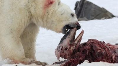 Op de Noordpool zijn ijsberen begonnen met dolfijnen te eten