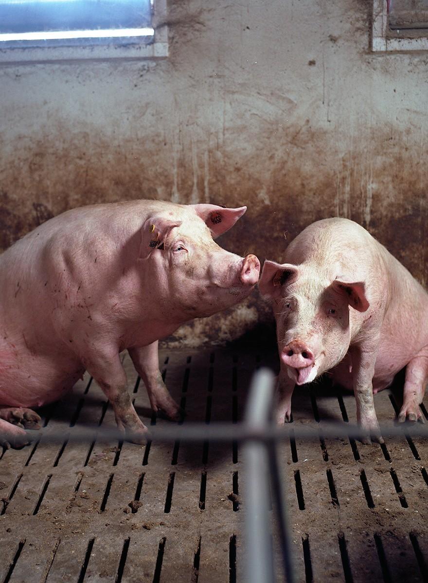 Animales en su propio corredor de la muerte
