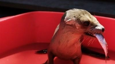 """Malutki lew morski wraca do zdrowia (fragment z """"California's Sea Lion Die-Off"""")"""