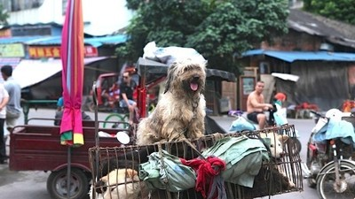 Ten Thousand Dogs and Cats Will Be Eaten This Weekend at China's Annual Dog Meat Festival