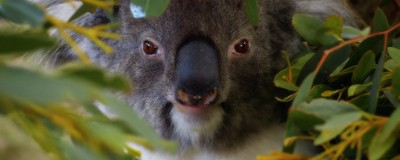 Koalas: los mejores peleadores de la naturaleza