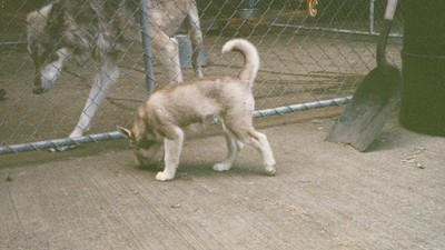 Quand j'étais enfant, mon père a adopté un loup
