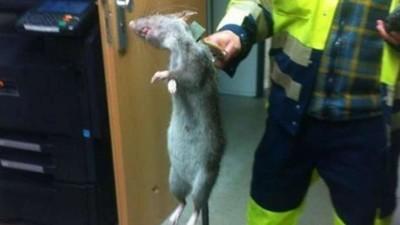 Eine Monster-Ratte in Deutschland wirft ziemlich viele Fragen auf