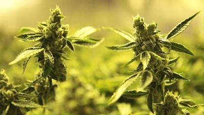 Tráva ještě zelenější: Pohled do miliardového marihuanového průmyslu
