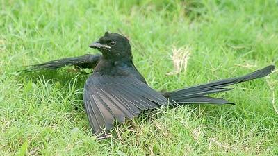 Pasărea, al doilea narcoman după om