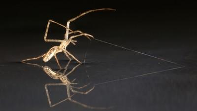 Cum navighează păianjenii pe apă