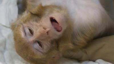 Experimenty na zvířatech: Uvnitř opičí laboratoře